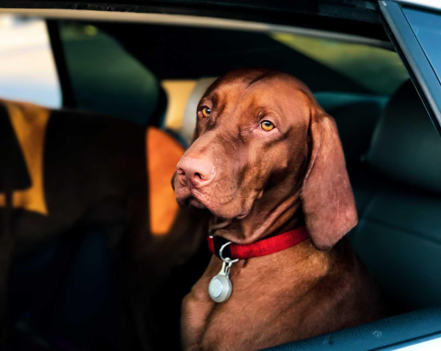 mascota en el coche